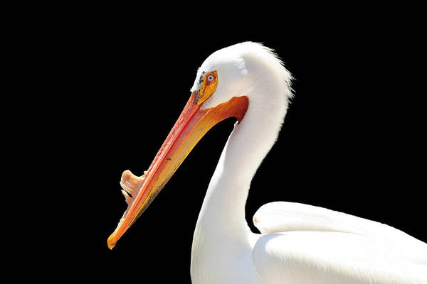 American White Pelican Art Print featuring the photograph American Pelican by Jeannie Burleson