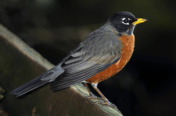 Thrush Art Print featuring the photograph American Robin by Laura Mountainspring