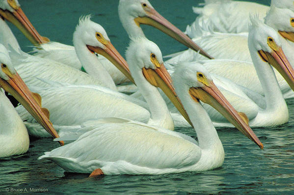 White Pelicans Art Print featuring the photograph American White Pelicans by Bruce Morrison