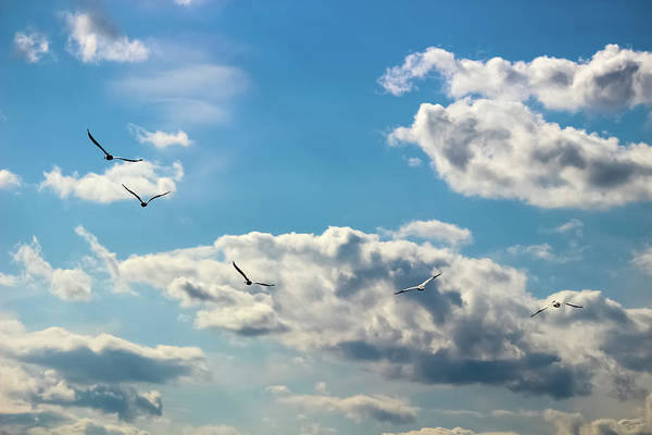 American White Pelicans Flying Art Print featuring the photograph American White Pelicans Flying by Cynthia Woods