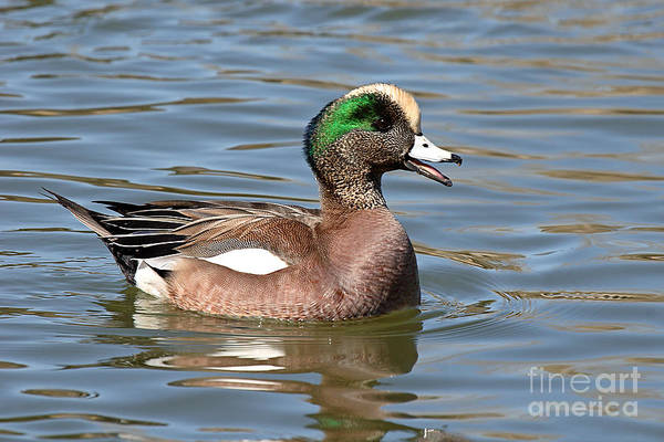 Widgeon Art Print featuring the photograph American Widgeon Calling From The Water by Max Allen