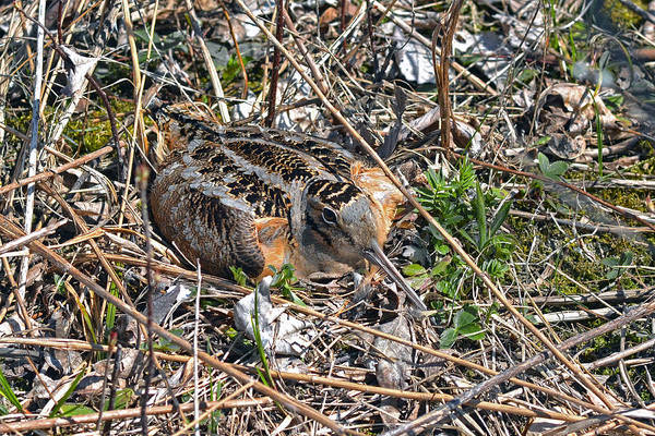 American Woodcock Art Print featuring the photograph American Woodcock Incubating Her Chicks by Asbed Iskedjian