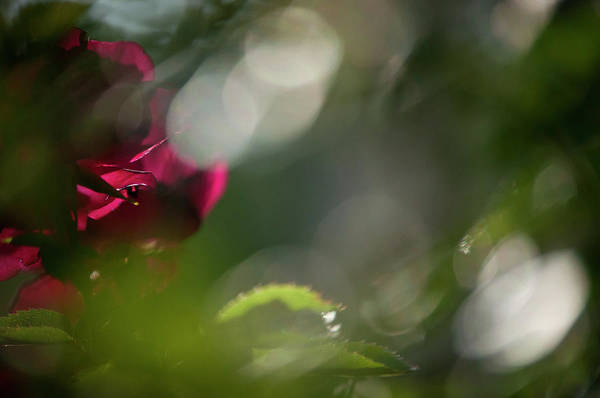 Roses Art Print featuring the photograph Amore by Kimberly McKinley