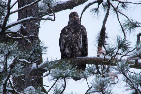 Bald Eagle Art Print featuring the photograph An Eagle Gazing Through Snowfall by Jeff Swan
