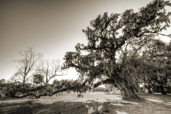 Ancient Art Print featuring the photograph Ancient Live Oak Tree by Dustin K Ryan