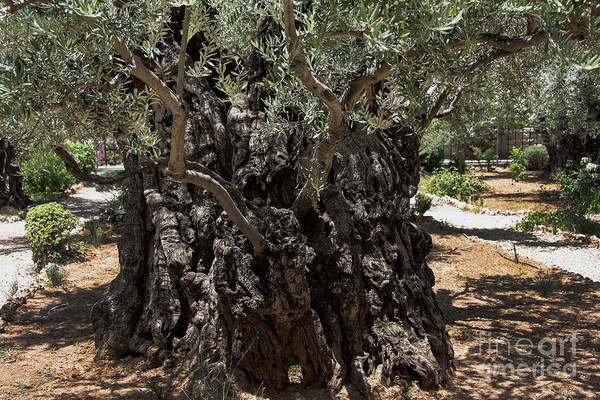 Ancient Olive Tree Art Print featuring the photograph Ancient Olive Tree by Mae Wertz