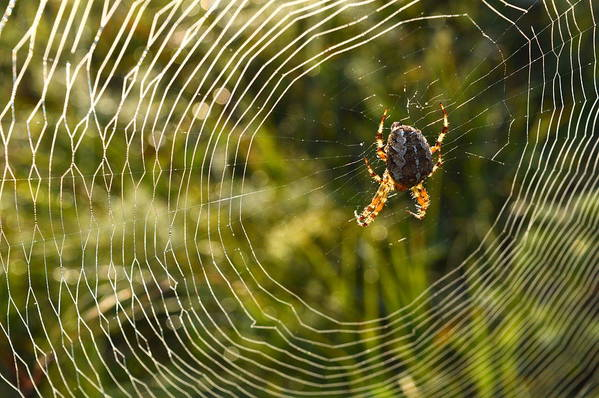 Araneus Diadematus Art Print featuring the photograph Araneus Morning by Peter Pier