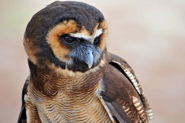 Owl Art Print featuring the photograph Asian Brown Wood Owl by Alan Lenk