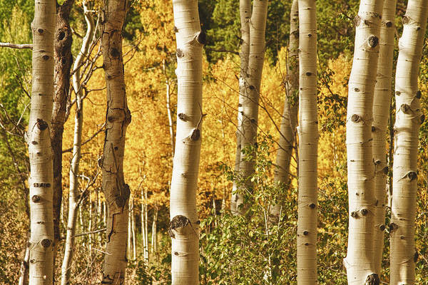 Autumn Print featuring the photograph Aspen Gold by James BO Insogna