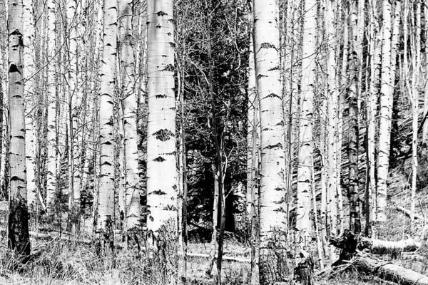 Black And White Art Print featuring the photograph Aspens And The Pine Black And White Fine Art Print by James BO Insogna