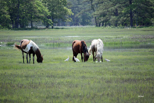 Maryland Art Print featuring the photograph Assateague Island - Wild Ponies And Their Buddies by Ronald Reid