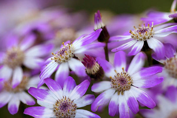 Aster Art Print featuring the photograph Aster Delights by Vanessa Thomas