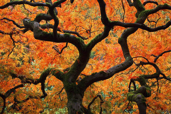 Autumn Art Print featuring the photograph Autumn Maple by Eggers Photography