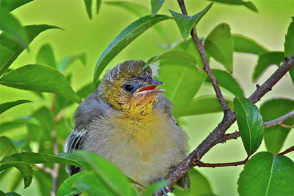 Birds Art Print featuring the photograph Baby Oriole by Diana Hatcher