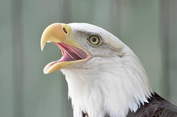 Birds Art Print featuring the photograph Bald Eagle Talking by Jo-Ann Matthews