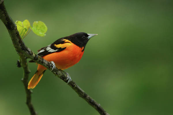 Baltimore Oriole Art Print featuring the photograph Baltimore Oriole by Reva Dow