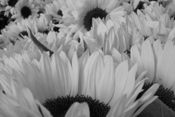 Art Print featuring the photograph Band W Sunflowers by Stacy Devanney