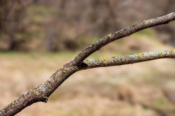 Lichen Art Print featuring the photograph Bare Tree Branches In Early Spring by Donald Erickson