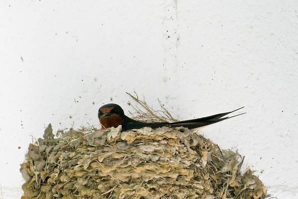 Barn Print featuring the photograph Barn Swallow Nesting by Douglas Barnett