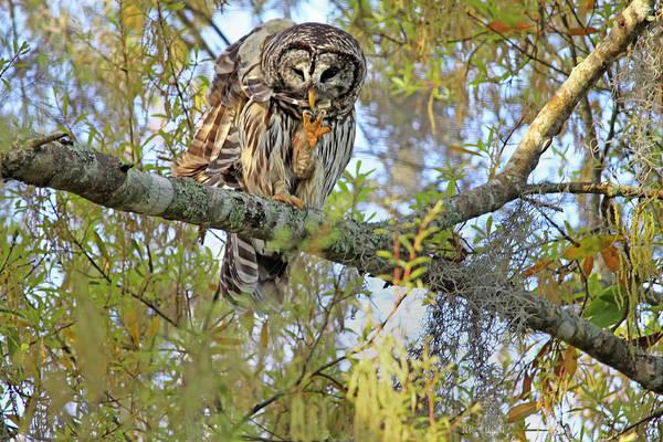 Owl Art Print featuring the photograph Barred Owl by Deborah Benoit
