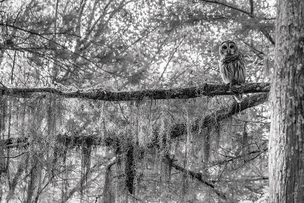 Barred Owl Art Print featuring the photograph Barred Owl In Monochrome by David Ramage