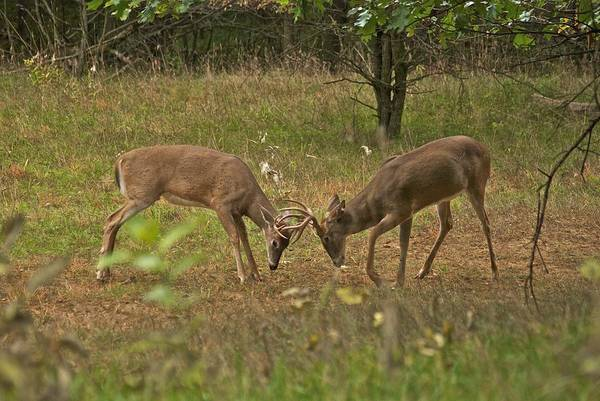 Whitetail Art Print featuring the photograph Battling Whitetails 0102 by Michael Peychich