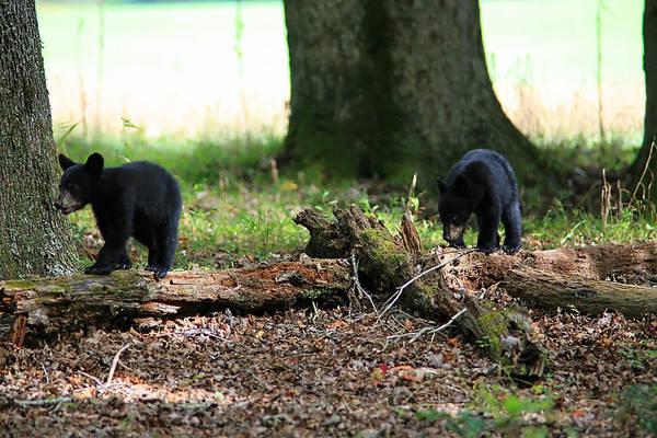 Black Bear Art Print featuring the photograph Bear Cubs by James Jones