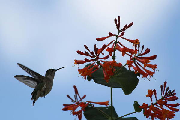 Hummingbird Art Print featuring the photograph Beautiful Hummingbird by Cinneidi Comfort