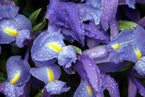 Arrangement Art Print featuring the photograph Beautiful Violet Colored Iris Flower With Rain Drops by Michael Ledray