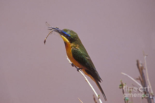 African Birds Art Print featuring the photograph Bee Eater And Dragonfly by Sandra Bronstein