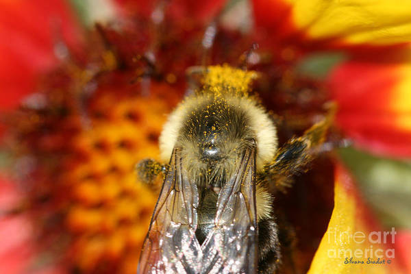 Bee Art Print featuring the photograph Bee Five - by Silvana Siudut