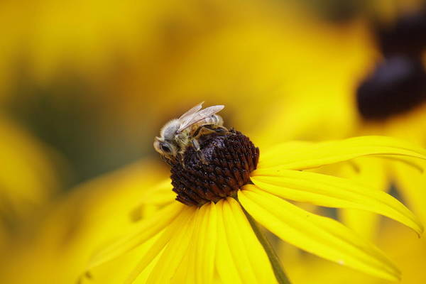 Honey Bee Art Print featuring the photograph Bee by Joshua Foster