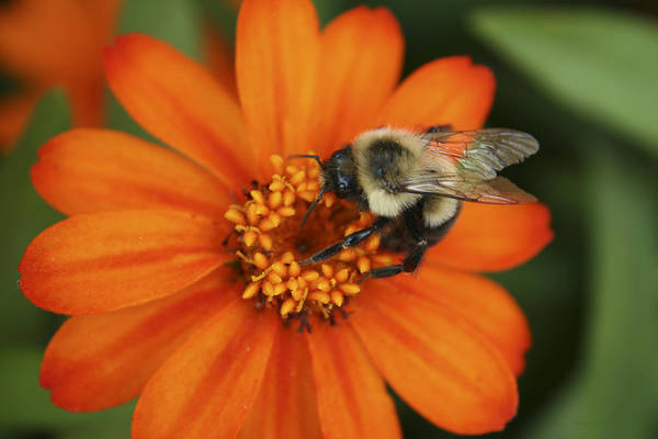 Bee Art Print featuring the photograph Bee On Aster by Margie Wildblood