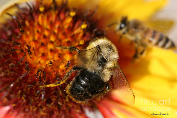 Bee Art Print featuring the photograph Bee One by Silvana Siudut