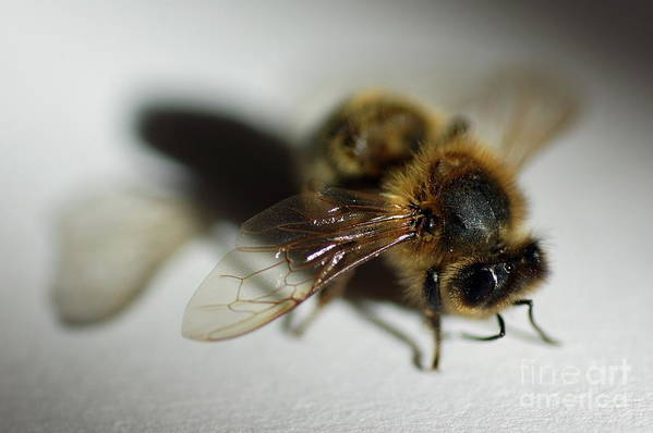 Animal Art Print featuring the photograph Bee Sitting On A White Sheet by Sami Sarkis