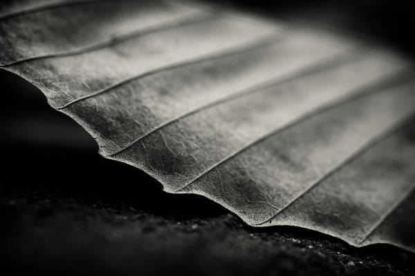 Leaf Art Print featuring the photograph Beech Leaf Detail #1 by Bethany Dhunjisha