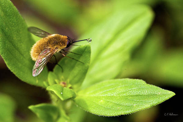 Beefly Art Print featuring the photograph Beefly by Christopher Holmes
