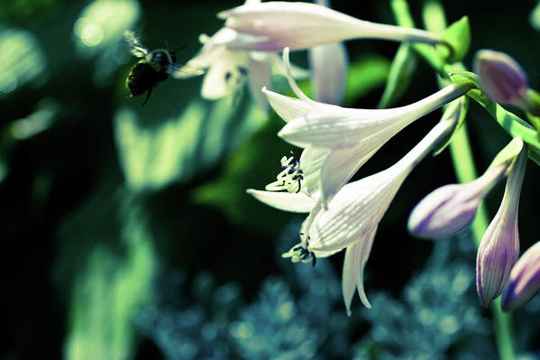 Photograph Art Print featuring the photograph Bees Love Hastas by Susan Schumann