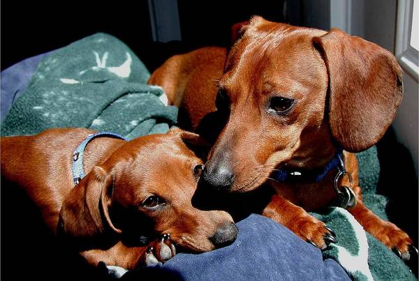 Dachshund Art Print featuring the photograph Best Friends by Pringle Teetor