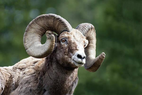 Ram Art Print featuring the photograph Big Horn Sheep by Scott Read