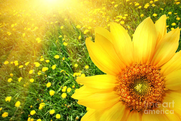 Background Art Print featuring the photograph Big Yellow Sunflower by Sandra Cunningham
