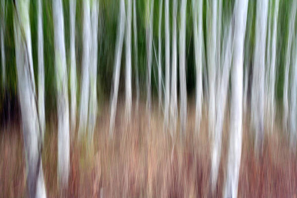Birch Art Print featuring the photograph Birch Grove Impressions by Kelly Kellogg