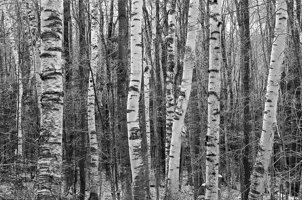 Horizontal Art Print featuring the photograph Birch Stand by Ron Kochanowski - www.kochanowski.us