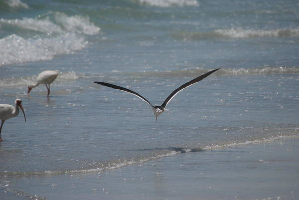 Bird Art Print featuring the photograph Bird Flying In The Surf 2 by Lisa Gabrius