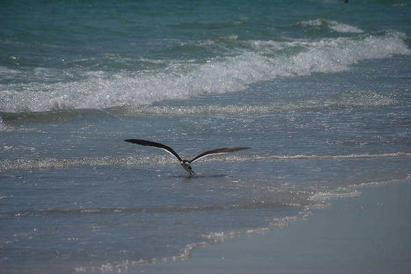Birds Art Print featuring the photograph Bird Flying In The Surf by Lisa Gabrius