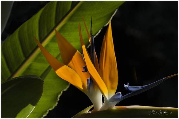 Flower Art Print featuring the photograph Bird Of Paridise2 by Richard Gordon