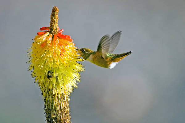 Hummingbird Art Print featuring the photograph Birds And Bees by Mike Dawson