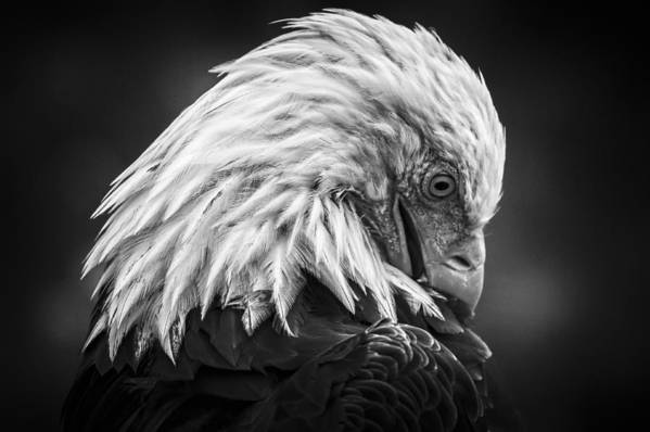 Canada Art Print featuring the photograph Birds Of Bc - No.30 - Bald Eagle - Keeping Clean by Paul W Sharpe Aka Wizard of Wonders