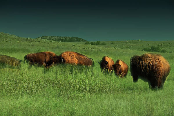 Bisons Art Print featuring the photograph Bisons In The Prarie by Iris Greenwell
