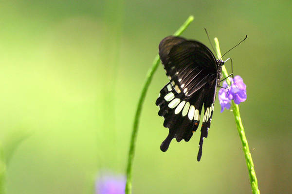 Insect Art Print featuring the photograph Black Butterfly by Mark Mah